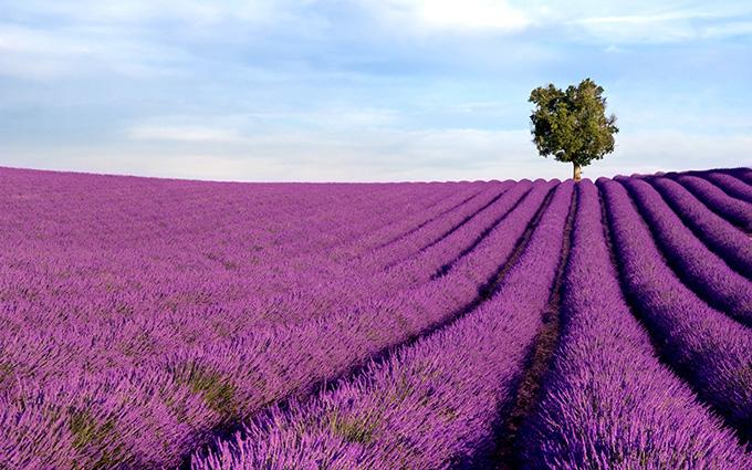 Rich lavender field with a lone tree - Tranh dán tường 3d - cách trang trí quán trà sữa, quán cà phê ấn tượng nhất